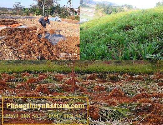 Rễ cây hương bài, nguyên liệu chính để sản xuất hương sạch marin